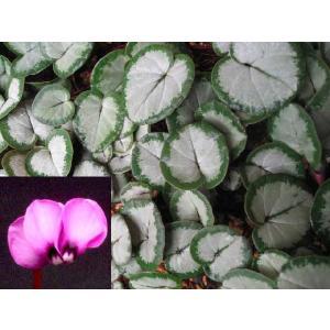 原種シクラメン 赤系 シクラメンコウム シルバーリーフ 山野草