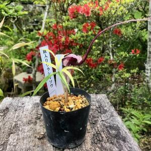 山野草寄せ植えの苔玉 一才ズイナ アワコガネギク オロシマザサ  [ギフト 贈り物]|hekizanen