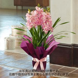 お歳暮 洋ラン「シンビジウム(ピンク系)」日比谷花壇