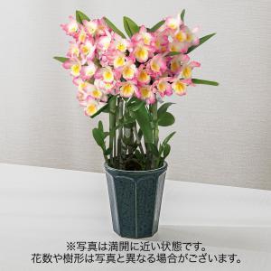 お歳暮 洋ラン「デンドロビウム(ピンク系)」日比谷花壇