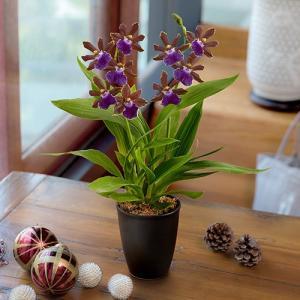 日比谷花壇 ラン鉢「ジゴベタラム(紫系)」 hibiyakadan