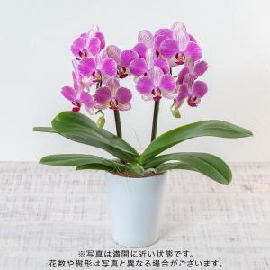 日比谷花壇 お正月 ミニ胡蝶蘭「リトルジェム」 hibiyakadan