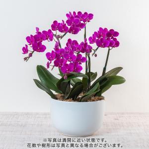 日比谷花壇 ラン鉢 「ミディ胡蝶蘭(ピンク系)5本立ち」 hibiyakadan