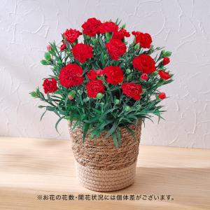母の日 花鉢  「カーネーション(レッド系)」  日比谷花壇...