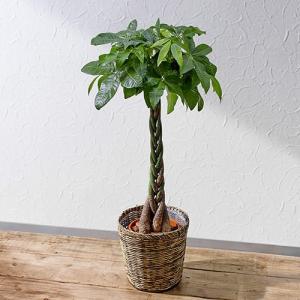 日比谷花壇 観葉植物  おしゃれ インテリア ギフト プレゼント 「パキラ(L)・バスケット」