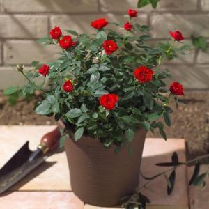 花鉢 ミニバラ コンテナ(赤) 日比谷花壇 寄せ植え