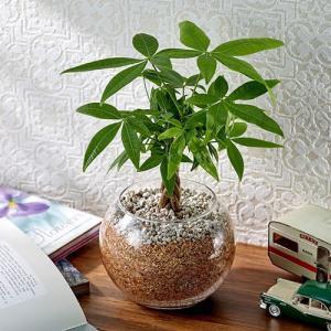 日比谷花壇 観葉植物  おしゃれ インテリア ギフト プレゼント 環境にやさしいエコスギ 「編み込みパキラ」|hibiyakadan