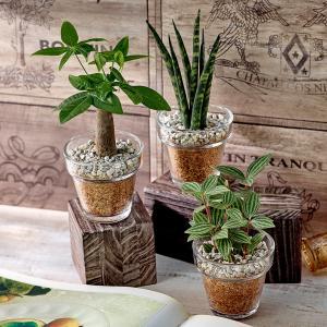 日比谷花壇 観葉植物  おしゃれ インテリア ギフト プレゼント 環境にやさしいエコスギ 「パキラ・サンスベリア・ペペロミア3個セット」|hibiyakadan