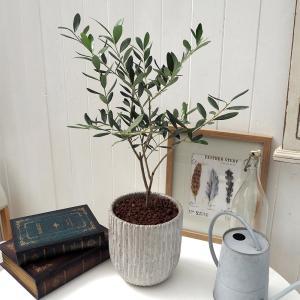 観葉植物 「オリーブ」 インテリアグリーン 日比谷花壇