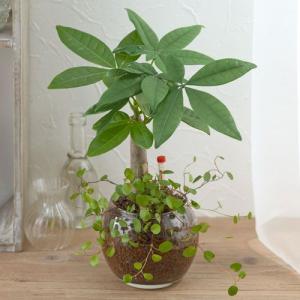 日比谷花壇 観葉植物  おしゃれ インテリア ギフト プレゼント 「パキラ&ミューレンベキア」