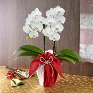 ミディ胡蝶蘭 風呂敷包み「ホワイト」日比谷花壇の画像