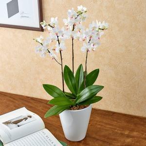 日比谷花壇 ラン鉢 ミディ胡蝶蘭「なごり雪」3本立ち お祝い 開店祝い 鉢花 hibiyakadan