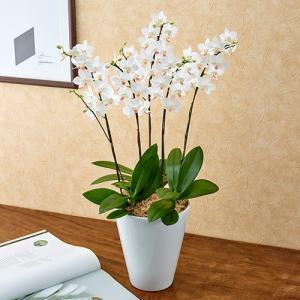 日比谷花壇 ラン鉢 ミディ胡蝶蘭「なごり雪」5本立ち お祝い 開店祝い 鉢花 hibiyakadan