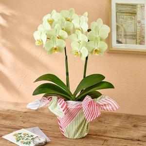 ラン鉢 ミディ胡蝶蘭 風呂敷包み「カーリー」 日比谷花壇 お祝い 開店祝い 鉢花