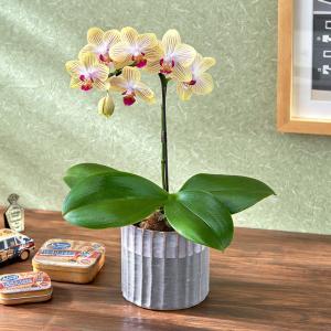 日比谷花壇蘭鉢 お手入れかんたんミディ胡蝶蘭S「ゴールドベイビー」(グレー陶器) hibiyakadan