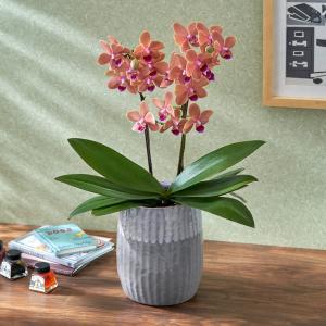 日比谷花壇蘭鉢 お手入れかんたんミディ胡蝶蘭L「パプリカ」(グレー陶器) hibiyakadan