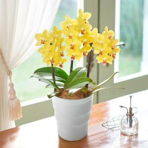 日比谷花壇 季節の 蘭鉢 ミディ胡蝶蘭「ナオミゴールド」 hibiyakadan