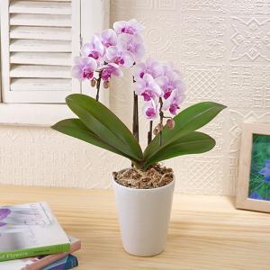 日比谷花壇 ミディ胡蝶蘭「ランラン」 送料無料 ネット限定 お祝い 開店祝い 鉢花の画像
