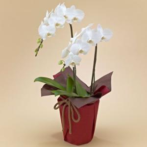日比谷花壇 ミディ胡蝶蘭(ホワイト)2本立ち ネット限定 お祝い 開店祝い 鉢花 hibiyakadan