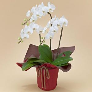 日比谷花壇 ミディ胡蝶蘭(ホワイト)3本立ち ネット限定 お祝い 開店祝い 鉢花 hibiyakadan