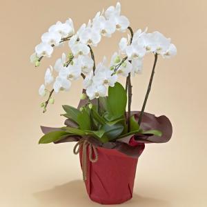 日比谷花壇 ミディ胡蝶蘭(ホワイト)5本立ち ネット限定 お祝い 開店祝い 鉢花 hibiyakadan