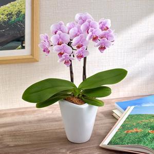 日比谷花壇 ミディ胡蝶蘭「ココロ」2本立ち お祝い 開店祝い 鉢花 hibiyakadan