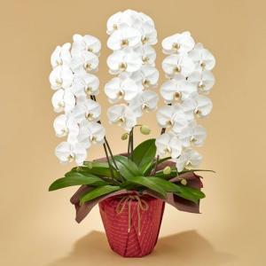 日比谷花壇 「胡蝶蘭(ホワイト)3本立ち」 お祝い 開店祝い 鉢花 hibiyakadan