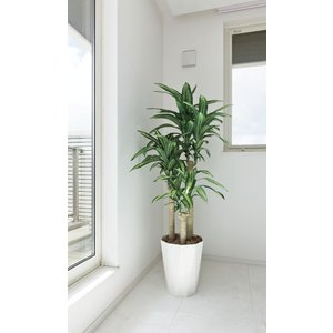 光触媒 観葉植物 幸福の木 1.6m|hikarinorakuen