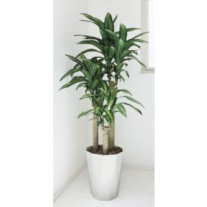 光触媒 観葉植物 幸福の木 1.6m|hikarinorakuen|02