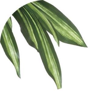 光触媒 観葉植物 幸福の木 1.6m|hikarinorakuen|03
