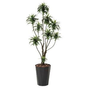 光触媒観葉植物 ドラセナコンパクタ1.6m|hikarinorakuen