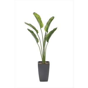 光触媒観葉植物 オーガスタ1.85m|hikarinorakuen