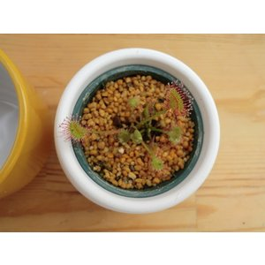 【食虫植物】Drosera rotundifolia 南八ヶ岳産