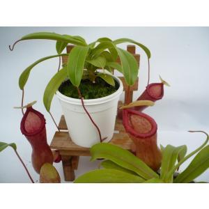 食虫植物 ネペンテス ウツボカズラ  ベントリコーサ2,5号 鉢カバー付きの画像