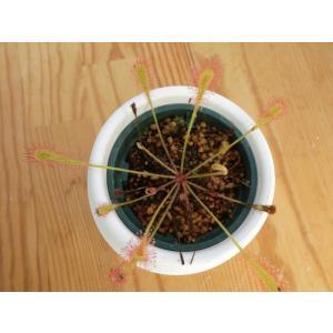 食虫植物 Drosera nidiformis