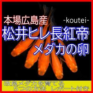 広島産 極上赤三色 めだか卵30個 メダカ 改良 3色 赤 最高級メダカ
