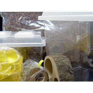 カブト成虫飼育セット 大型種|hobby-club