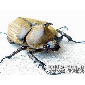 アヌビスカブト3令ペア【アルゼンチン産】 hobby-club