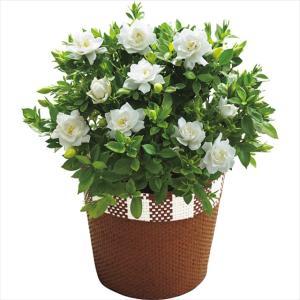 母の日 花 鉢植え ギフト 送料無料 ガーデニア鉢植え / 母の日ギフト 2021 鉢植え 生花 鉢植 花 植物 かわいい きれい 人気 直送 メッセージカード【21m】|hokkaido-gourmation