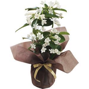 母の日 花 鉢植え ギフト 送料無料 マダガスカルジャスミン鉢植え / 母の日ギフト 2021 鉢植え 生花 鉢植 花 植物 かわいい きれい メッセージカード【21m】|hokkaido-gourmation