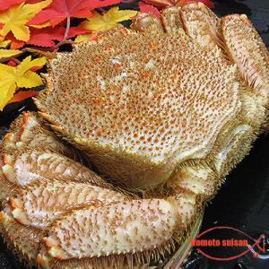 北海道 オホーツク産 堅毛ガニ姿(大型サイズ)1杯 570g前後|hokkeya