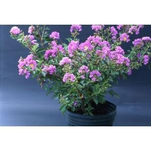 サルスベリ苗木 パープルクィーン 紫 4.5号鉢|hokuetsunoji-shop