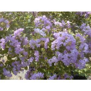 サルスベリ苗木 サマー淡紫清(たんしせい) うす紫  4.5寸鉢|hokuetsunoji-shop