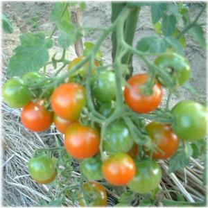 有機栽培ミニトマト約200g|hondanojo