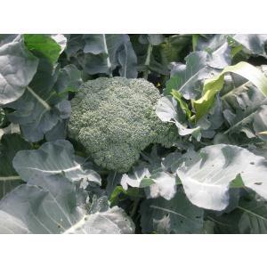 有機栽培ブロッコリー1個250g〜300g|hondanojo