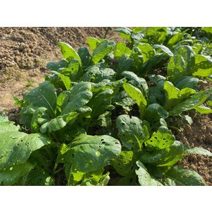 無農薬栽培小松菜200g|hondanojo