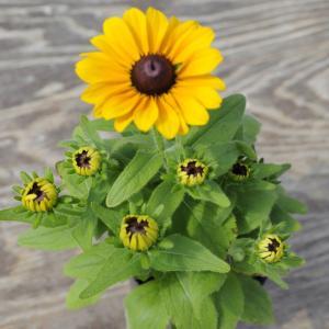 【当店農場生産】ルドベキア トトゴールド 9cmポット苗 毎年咲く 耐寒性宿根草|honeymint