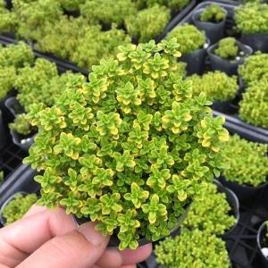 【当店農場生産】ゴールデンレモンタイム9センチポット苗 斑が綺麗で繁殖力旺盛なハーブ|honeymint