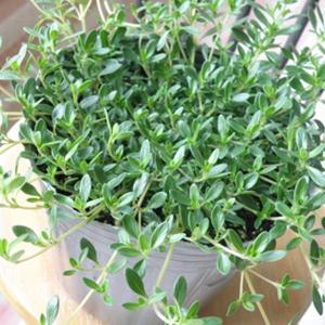 【当店農場生産】レイタータイム 9cmポット苗 繁殖力旺盛なクリーピングタイム