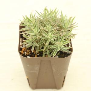 別名:笹姫、覆輪万年草  笹のような葉に白いフの入ったセダムです。 冬はこんもりと、暖かい時期は立ち...